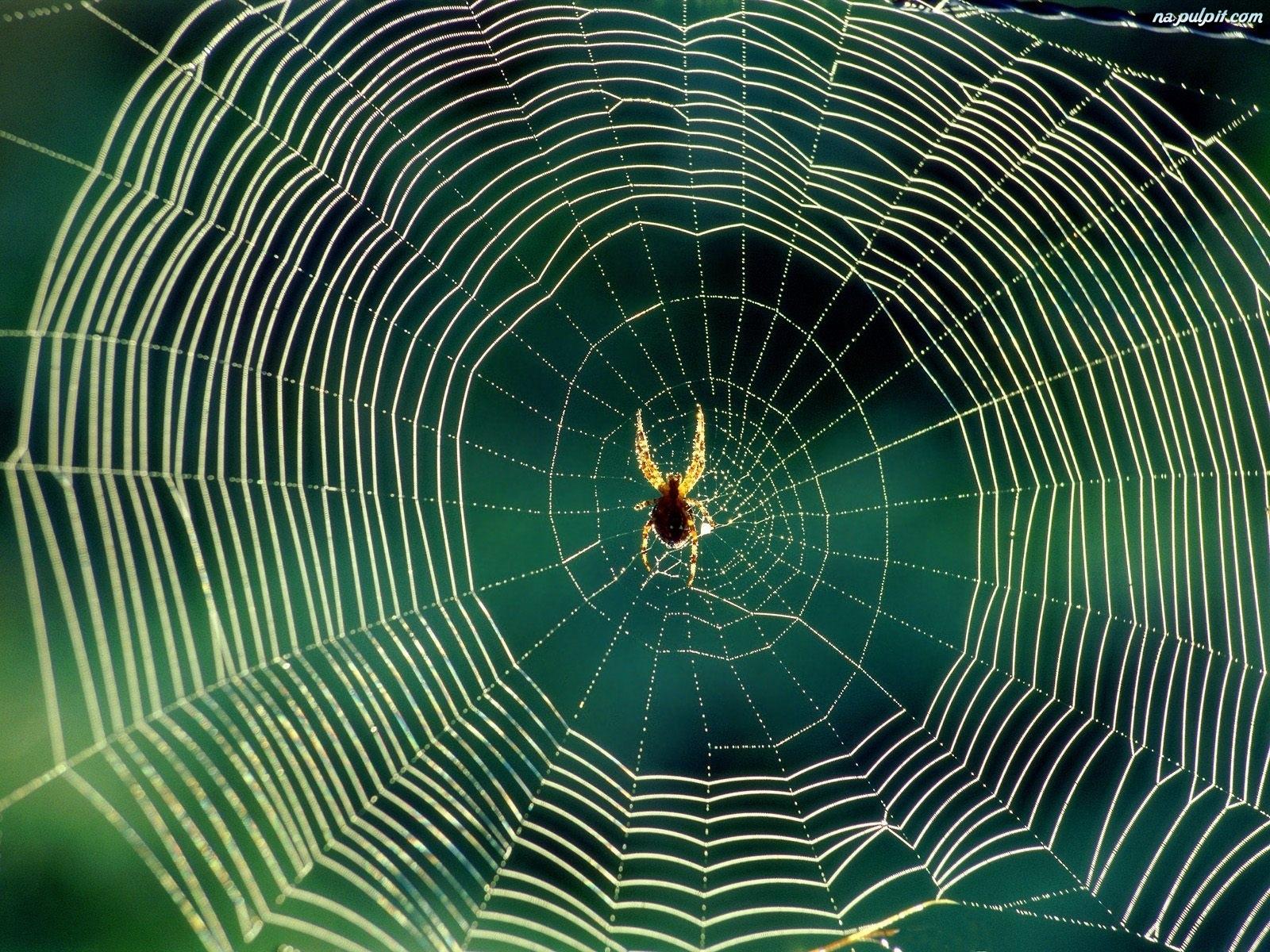 pajak-pajeczyna